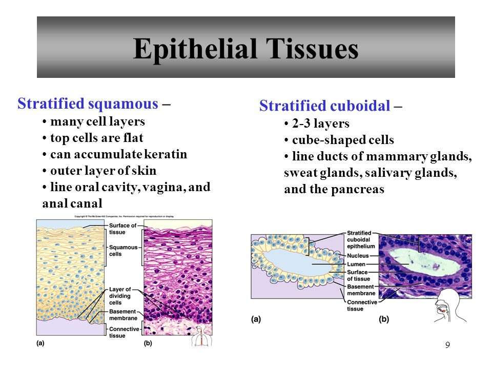 20 Connective Tissues Cartilage rigid matrix chondrocytes in lacunae poor blood supply three types hyaline elastic fibrocartilage Hyaline cartilage most abundant ends of bones nose, respiratory passages embryonic skeleton Elastic cartilage flexible external ear, larynx Fibrocartilage very tough shock absorber intervertebral discs pads of knee and pelvic girdle