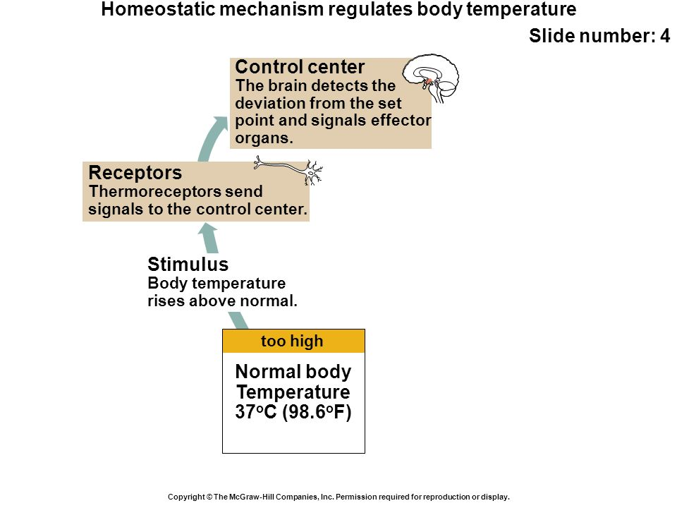 Homeostatic mechanism regulates body temperature Slide number: 4 Copyright © The McGraw-Hill Companies, Inc. Permission required for reproduction or d