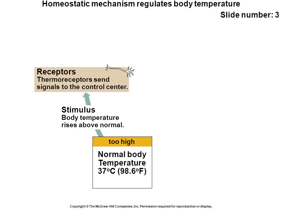 Homeostatic mechanism regulates body temperature Slide number: 3 Copyright © The McGraw-Hill Companies, Inc. Permission required for reproduction or d