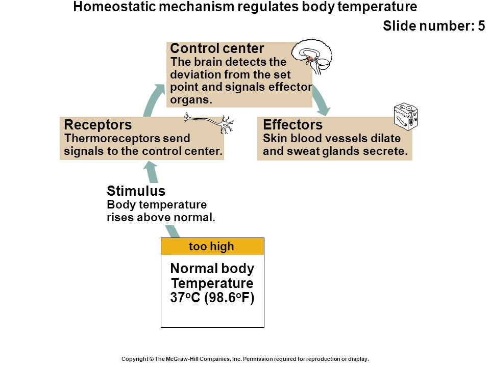 Homeostatic mechanism regulates body temperature Slide number: 5 Copyright © The McGraw-Hill Companies, Inc. Permission required for reproduction or d
