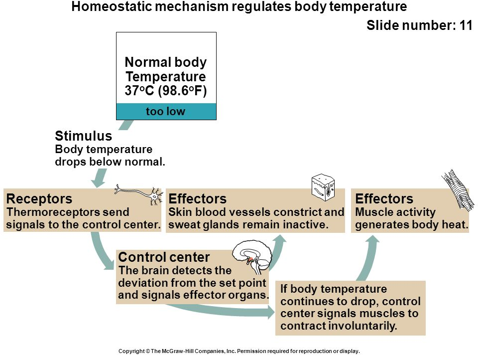 Effectors Skin blood vessels constrict and sweat glands remain inactive. Receptors Thermoreceptors send signals to the control center. too low Normal