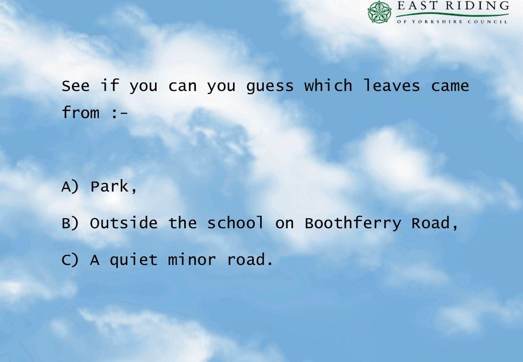 See if you can you guess which leaves came from :- A) Park, B) Outside the school on Boothferry Road, C) A quiet minor road.