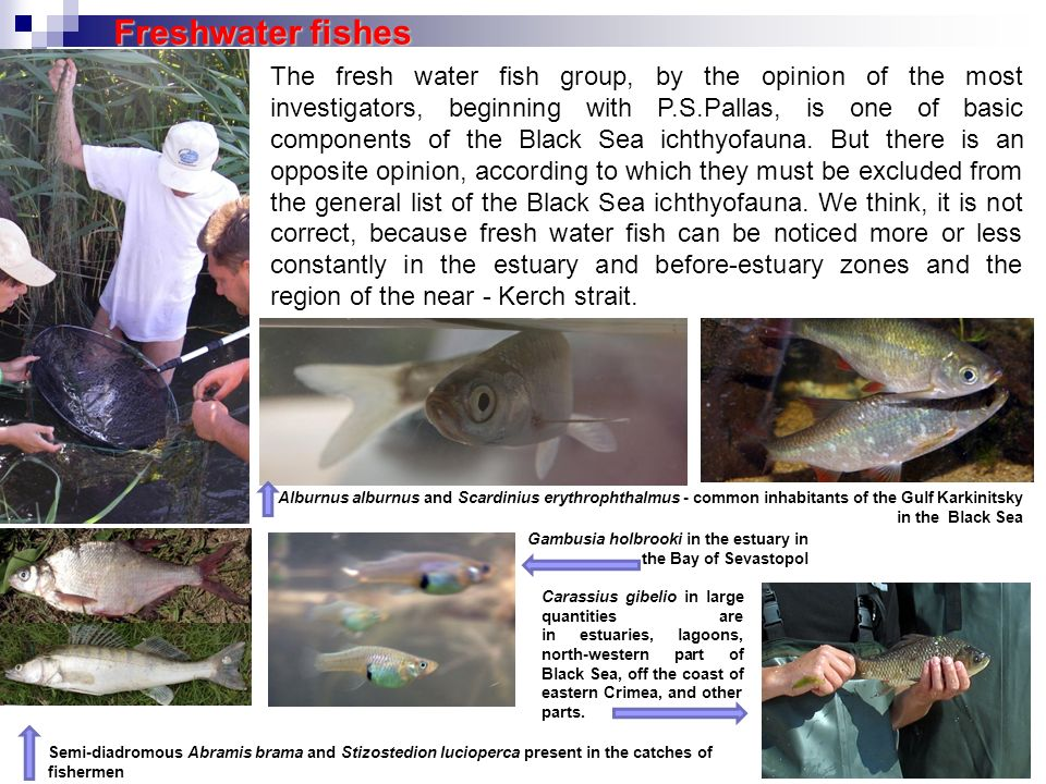 The fresh water fish group, by the opinion of the most investigators, beginning with P.S.Pallas, is one of basic components of the Black Sea ichthyofa