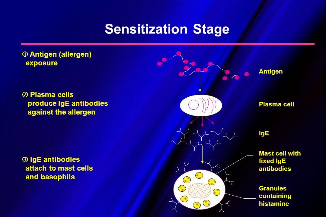 Sensitization Stage Antigen (allergen) exposure Plasma cells produce IgE antibodies against the allergen IgE antibodies attach to mast cells and basop