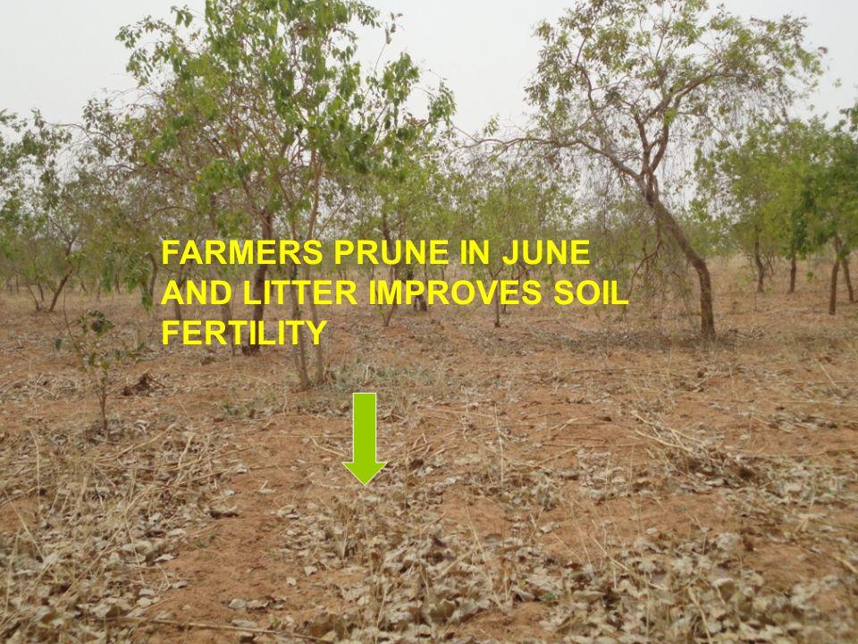 FARMERS PRUNE IN JUNE AND LITTER IMPROVES SOIL FERTILITY