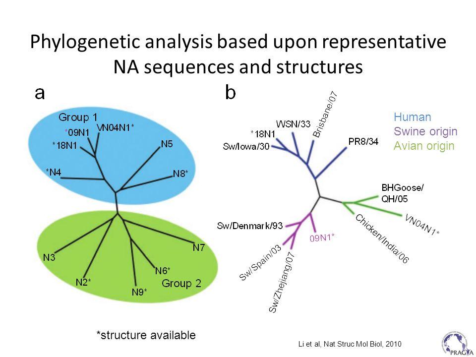Phylogenetic analysis based upon representative NA sequences and structures Li et al, Nat Struc Mol Biol, 2010 Human Swine origin Avian origin *struct