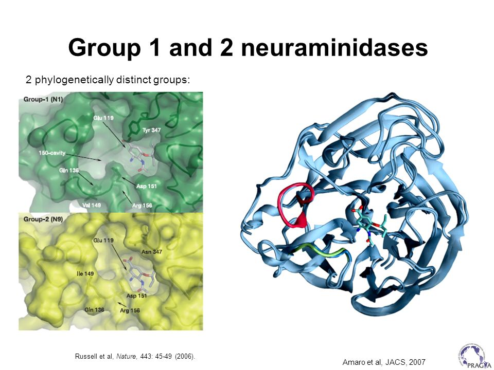 Group 1 and 2 neuraminidases Russell et al, Nature, 443: 45-49 (2006). 2 phylogenetically distinct groups: Amaro et al, JACS, 2007