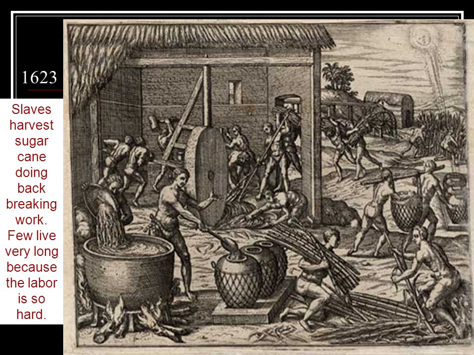 1623 Slaves harvest sugar cane doing back breaking work. Few live very long because the labor is so hard.