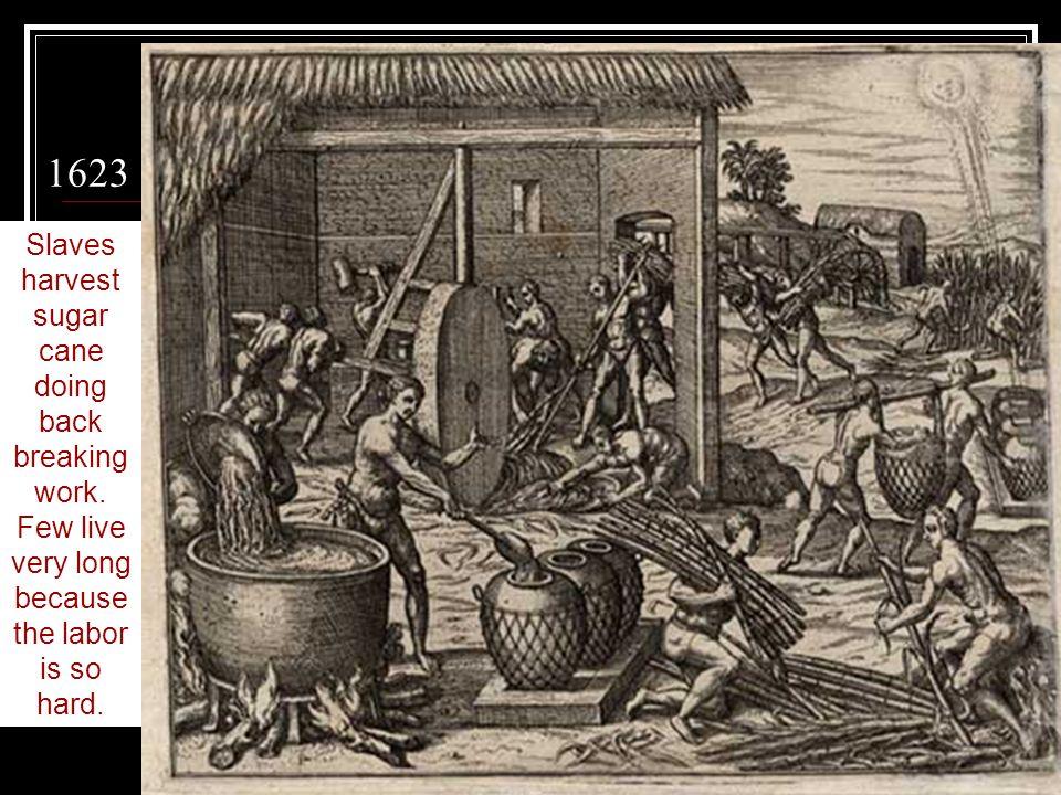 1623 Slaves harvest sugar cane doing back breaking work.