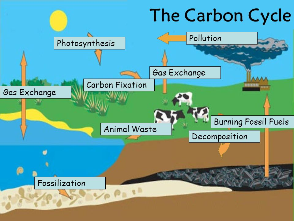 Gas Exchange Photosynthesis Pollution Gas Exchange Decomposition Burning Fossil Fuels Animal Waste Fossilization Carbon Fixation