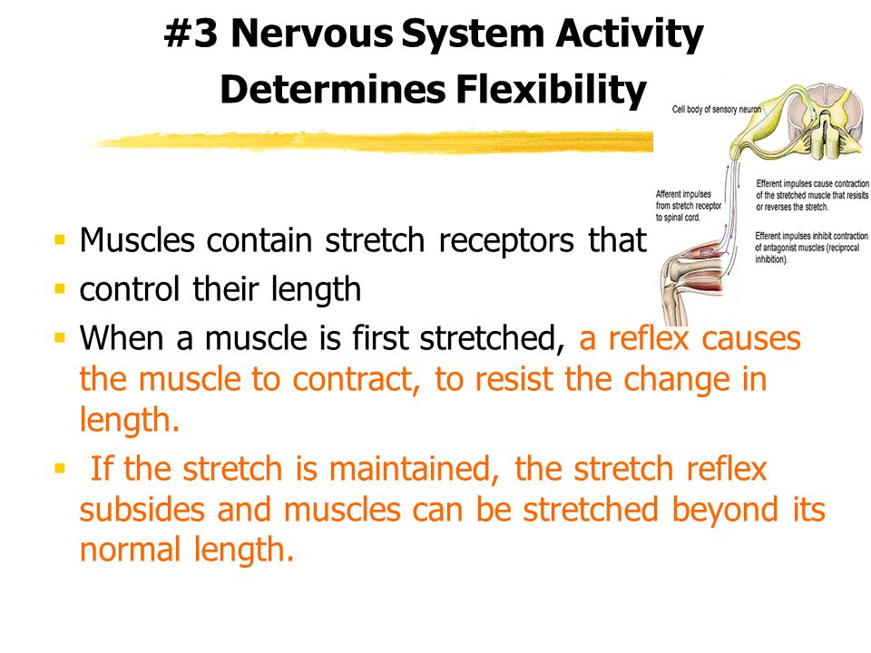 #3 Nervous System Activity Determines Flexibility Muscles contain stretch receptors that control their length When a muscle is first stretched, a refl