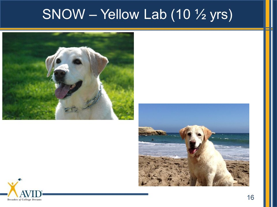 16 SNOW – Yellow Lab (10 ½ yrs)