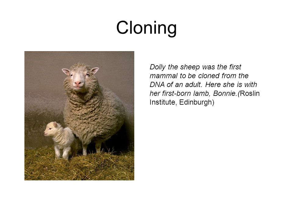 Cloning Dolly the sheep was the first mammal to be cloned from the DNA of an adult. Here she is with her first-born lamb, Bonnie.(Roslin Institute, Ed