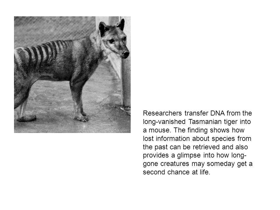 Researchers transfer DNA from the long-vanished Tasmanian tiger into a mouse. The finding shows how lost information about species from the past can b