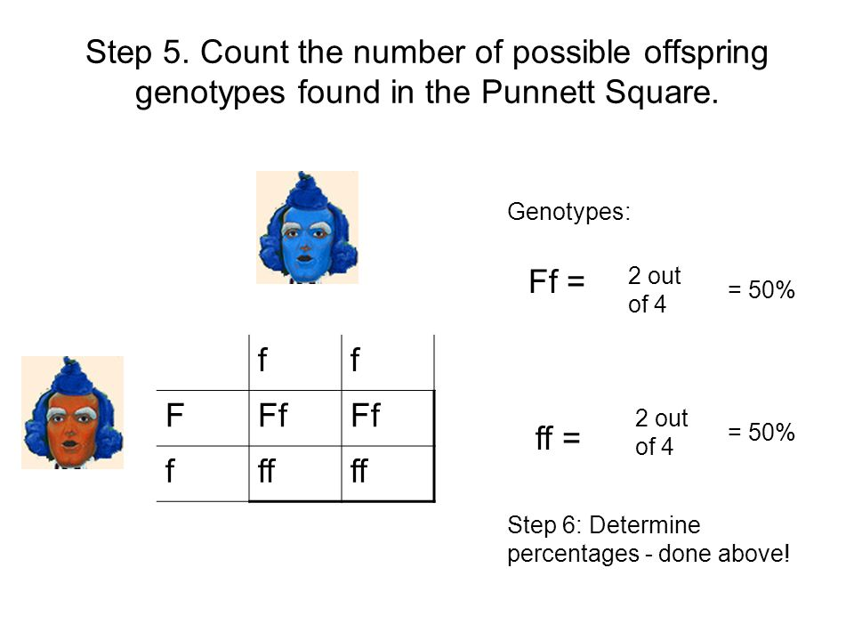 Step 5. Count the number of possible offspring genotypes found in the Punnett Square. ff FFf fff Genotypes: Ff = ff = 2 out of 4 = 50% Step 6: Determi
