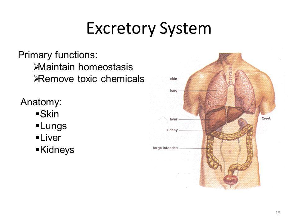 excretory system function, Cephalic Vein
