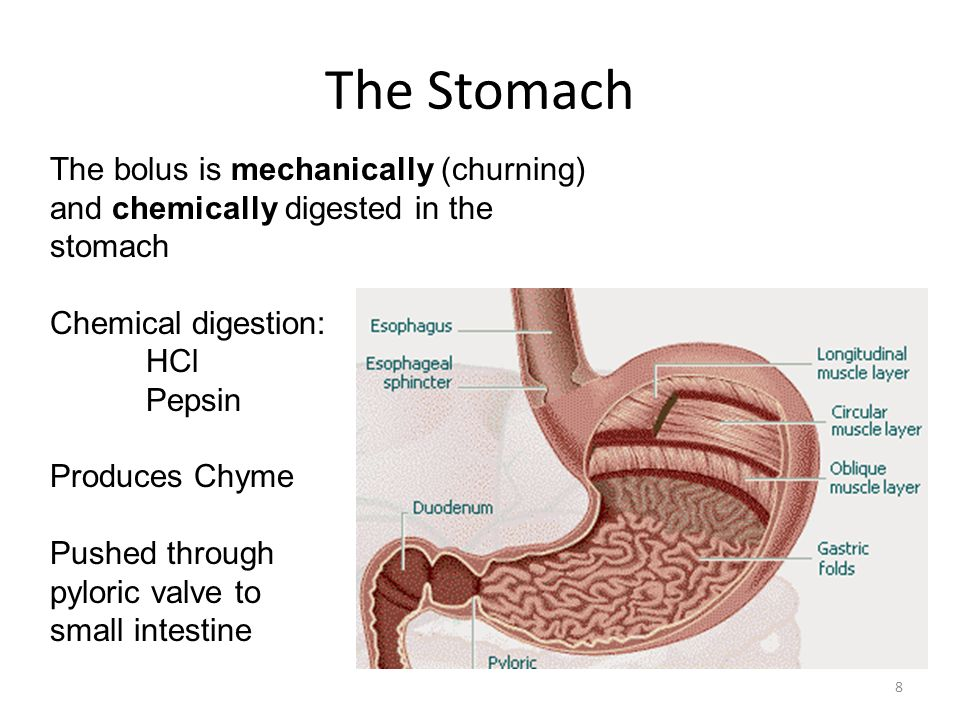 Small Intestine 9 Anatomy: 3 parts -Duodenum -Jejunum -Ileum -Villi Function: -Location where most food is digested & absorbed Accessory organs: -Pancreatic enzymes (Starch, protein, fat) -Liver enzymes (Bile-fat digestion, stored in gall bladder)