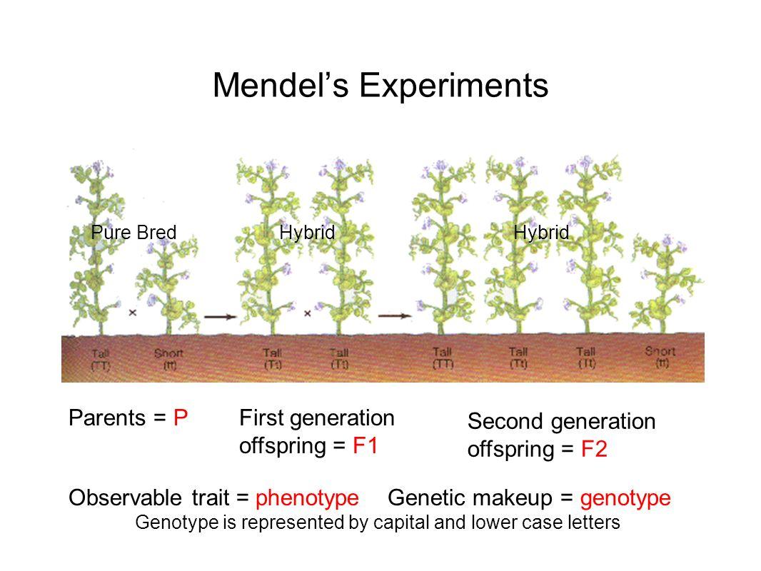 Mendels Experiments Parents = PFirst generation offspring = F1 Second generation offspring = F2 Observable trait = phenotype Genetic makeup = genotype