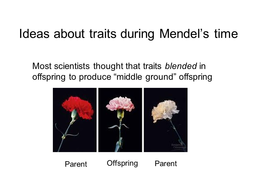 Ideas about traits during Mendels time Most scientists thought that traits blended in offspring to produce middle ground offspring Parent Offspring