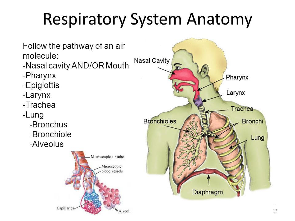 Respiratory System 12 Primary Function: Bring about the exchange of oxygen and carbon dioxide between the blood, the air and tissues