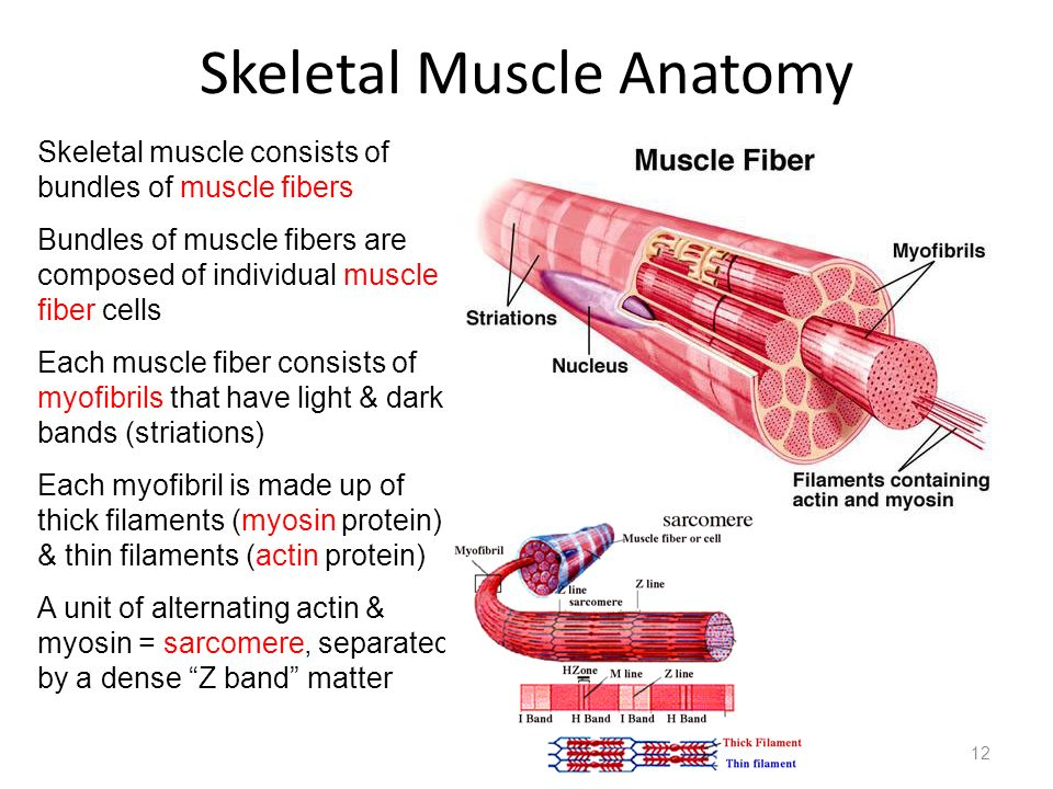 Skeletal Muscle Anatomy 12 Skeletal muscle consists of bundles of muscle fibers Bundles of muscle fibers are composed of individual muscle fiber cells