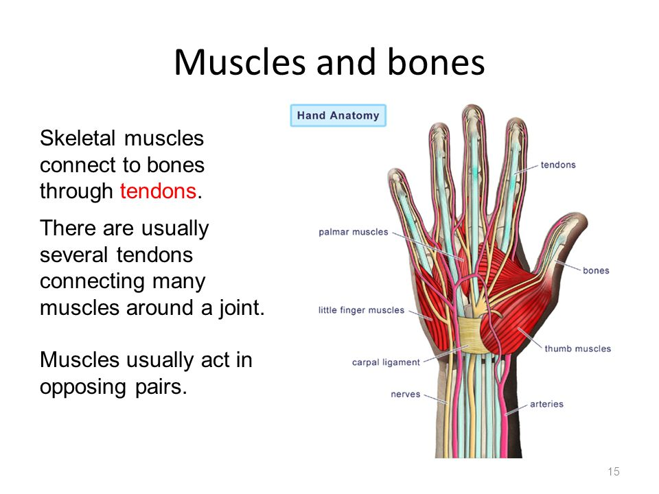 Muscles and bones 15 Skeletal muscles connect to bones through tendons. There are usually several tendons connecting many muscles around a joint. Musc