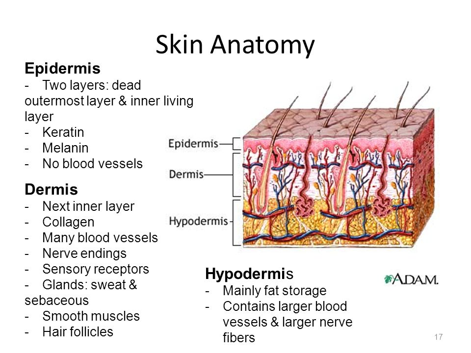 Skin Anatomy 17 Epidermis -Two layers: dead outermost layer & inner living layer -Keratin -Melanin -No blood vessels Dermis -Next inner layer -Collage