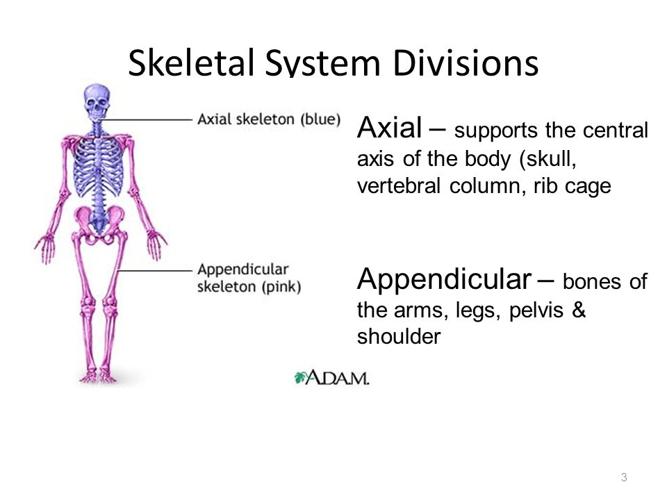 Skeletal System Divisions 3 Axial – supports the central axis of the body (skull, vertebral column, rib cage Appendicular – bones of the arms, legs, p