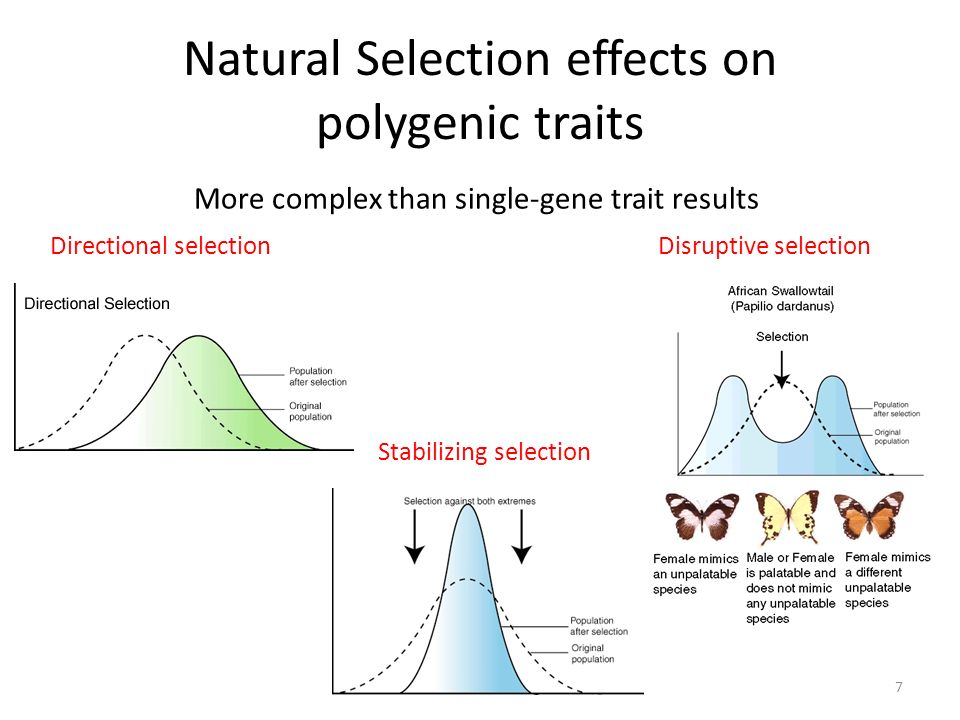 Natural Selection effects on polygenic traits 7 More complex than single-gene trait results Directional selection Stabilizing selection Disruptive selection