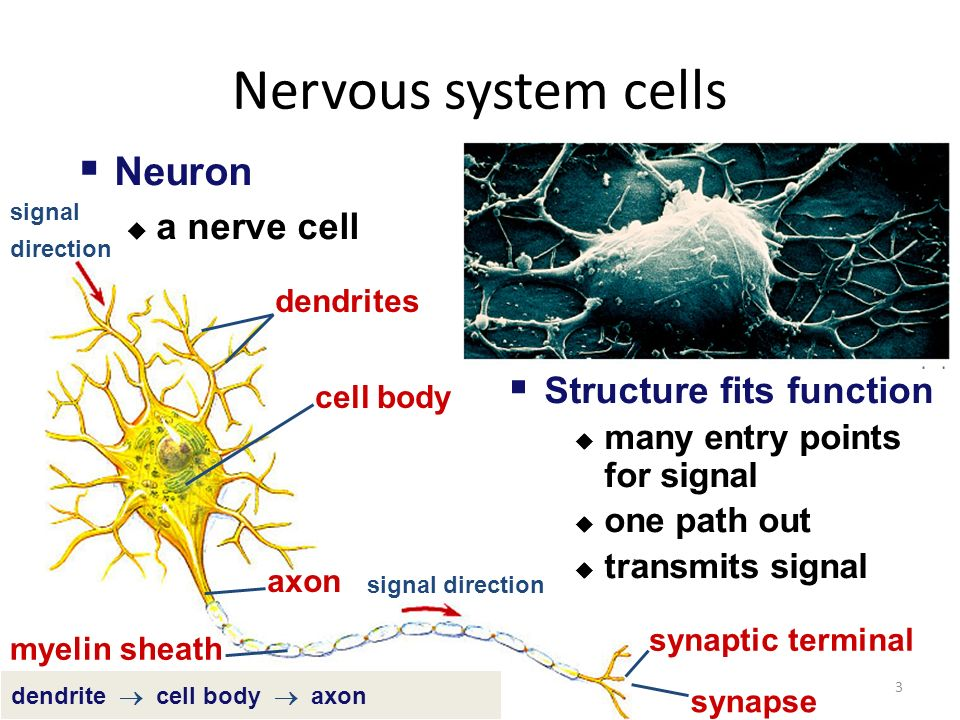 Nervous System Functions Control & coordinate functions throughout the body Respond to internal & external stimuli Provides fast communication between