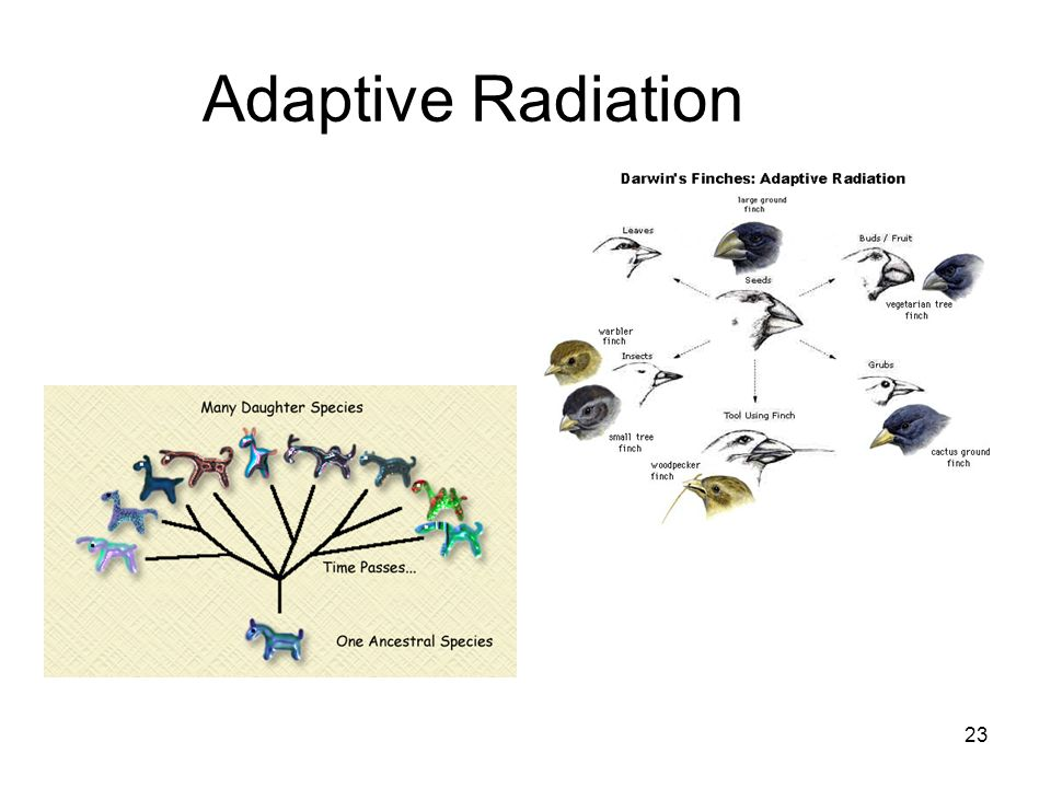 Adaptive Radiation 23