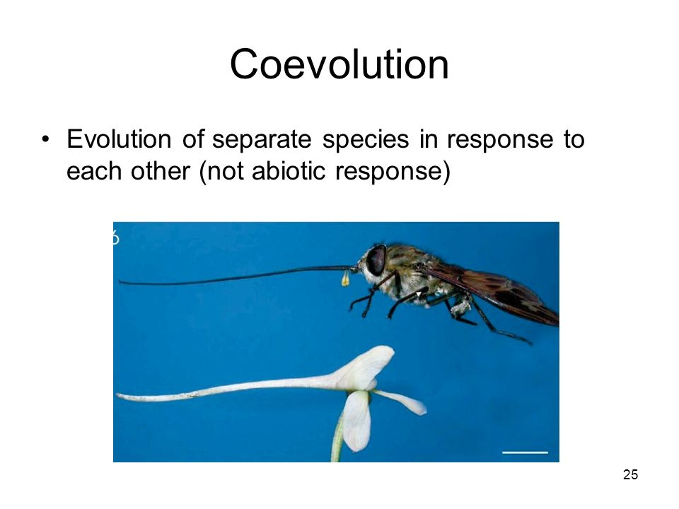 Coevolution Evolution of separate species in response to each other (not abiotic response) 25