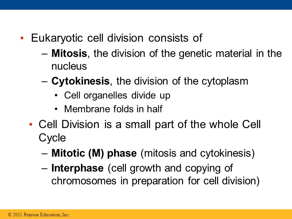 Eukaryotic cell division consists of –Mitosis, the division of the genetic material in the nucleus –Cytokinesis, the division of the cytoplasm Cell organelles divide up Membrane folds in half Cell Division is a small part of the whole Cell Cycle –Mitotic (M) phase (mitosis and cytokinesis) –Interphase (cell growth and copying of chromosomes in preparation for cell division) © 2011 Pearson Education, Inc.
