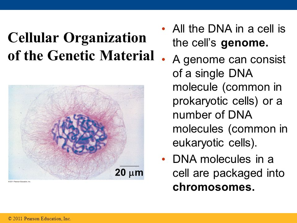 Cellular Organization of the Genetic Material All the DNA in a cell is the cells genome. A genome can consist of a single DNA molecule (common in prok