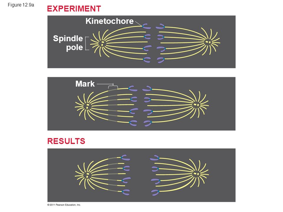 Figure 12.9a Kinetochore Mark Spindle pole EXPERIMENT RESULTS