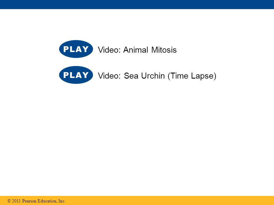 © 2011 Pearson Education, Inc. Video: Sea Urchin (Time Lapse) Video: Animal Mitosis