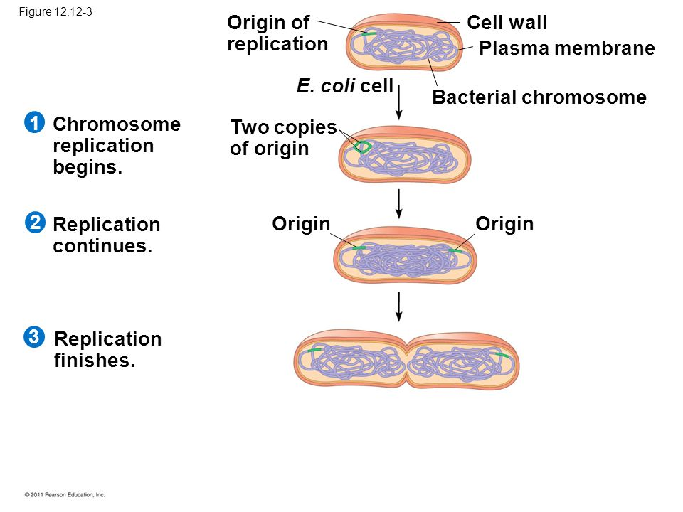 1 Origin of replication E. coli cell Two copies of origin Cell wall Plasma membrane Bacterial chromosome Origin Chromosome replication begins. Replica