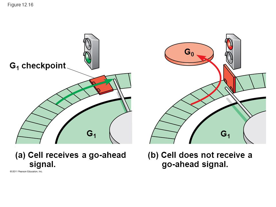 Figure 12.16 G 1 checkpoint G1G1 G1G1 G0G0 (a) Cell receives a go-ahead signal. (b) Cell does not receive a go-ahead signal.