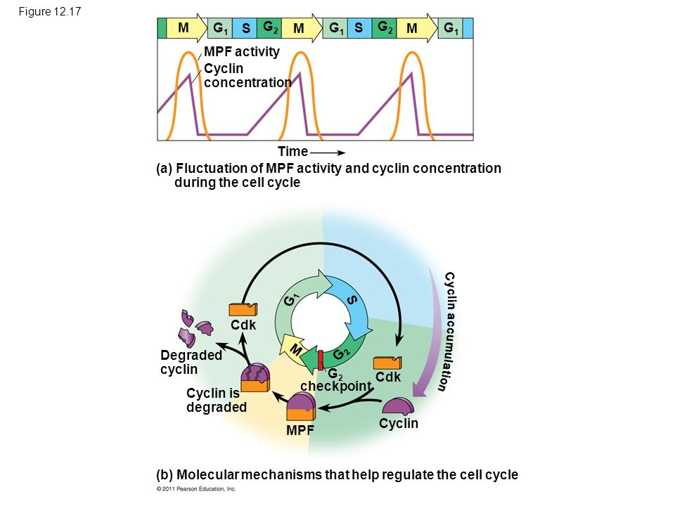 Figure 12.17 (a) Fluctuation of MPF activity and cyclin concentration during the cell cycle (b) Molecular mechanisms that help regulate the cell cycle