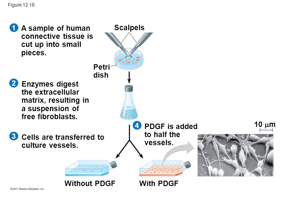 Figure 12.18 A sample of human connective tissue is cut up into small pieces. Enzymes digest the extracellular matrix, resulting in a suspension of fr