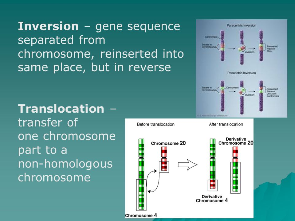 Inversion – gene sequence separated from chromosome, reinserted into same place, but in reverse Translocation – transfer of one chromosome part to a n