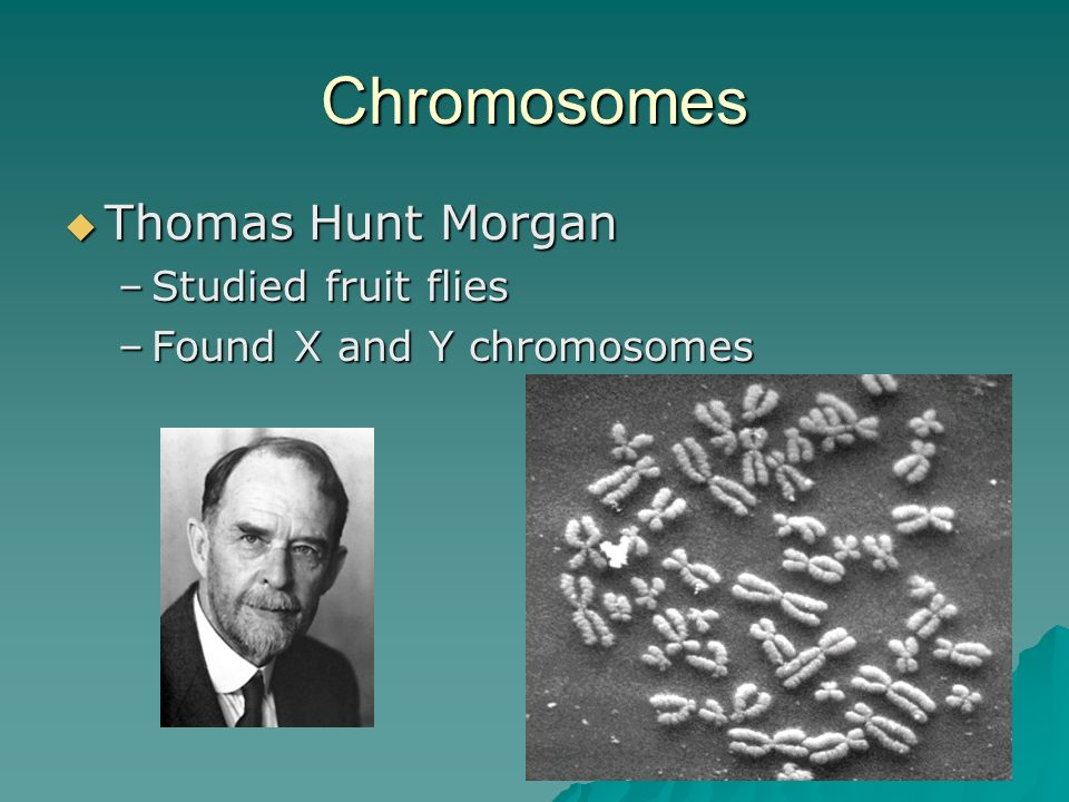 Chromosomes Thomas Hunt Morgan Thomas Hunt Morgan –Studied fruit flies –Found X and Y chromosomes