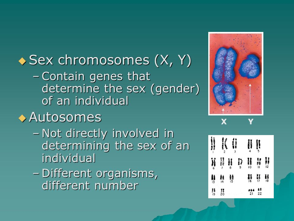Sex chromosomes (X, Y) Sex chromosomes (X, Y) –Contain genes that determine the sex (gender) of an individual Autosomes Autosomes –Not directly involv