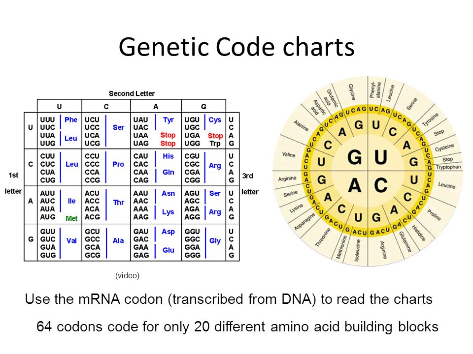 Genetic Code charts Use the mRNA codon (transcribed from DNA) to read the charts 64 codons code for only 20 different amino acid building blocks (vide