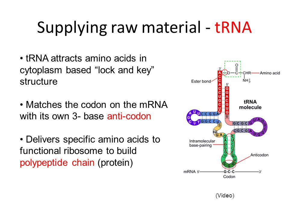 Supplying raw material - tRNA tRNA attracts amino acids in cytoplasm based lock and key structure Matches the codon on the mRNA with its own 3- base a