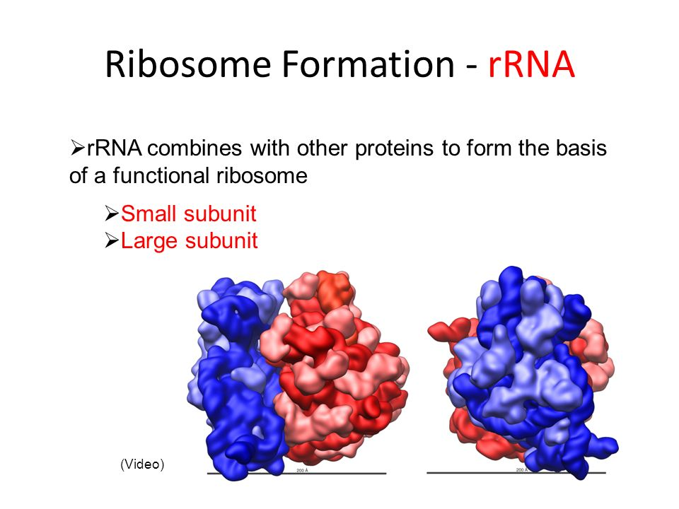 Ribosome Formation - rRNA rRNA combines with other proteins to form the basis of a functional ribosome Small subunit Large subunit (Video)