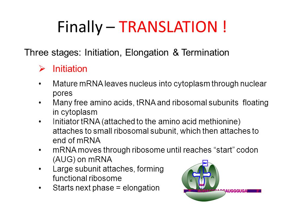 Finally – TRANSLATION ! Three stages: Initiation, Elongation & Termination Initiation Mature mRNA leaves nucleus into cytoplasm through nuclear pores