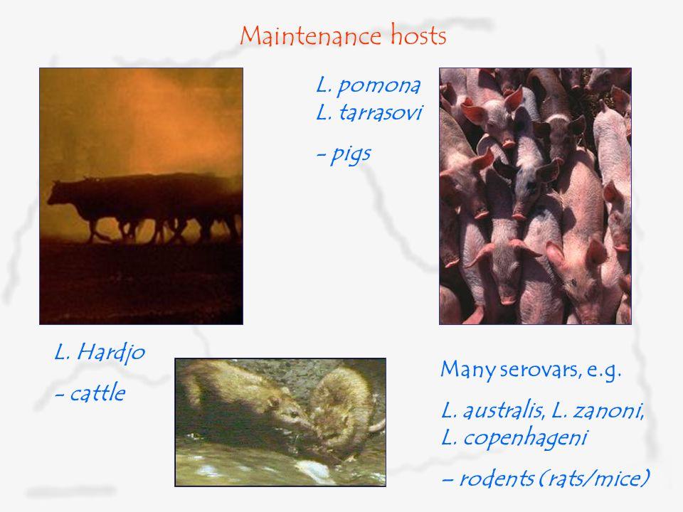 World Society for the Protection of Animals Maintenance hosts L. Hardjo - cattle L. pomona L. tarrasovi - pigs Many serovars, e.g. L. australis, L. za