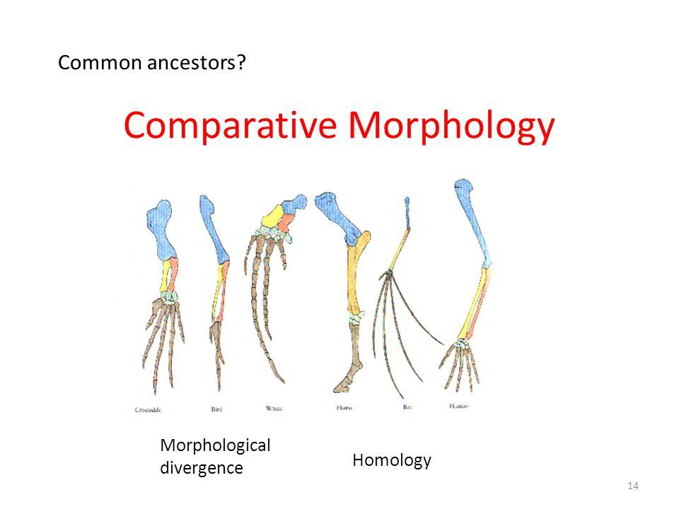 Comparative Morphology Morphological divergence Homology 14 Common ancestors?
