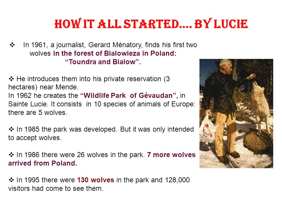 In 1961, a journalist, Gerard Ménatory, finds his first two wolves in the forest of Bialowieza in Poland: Toundra and Bialow.